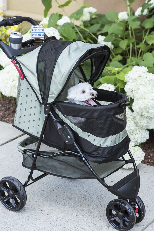 small white dog in dog stroller, shopping in the village