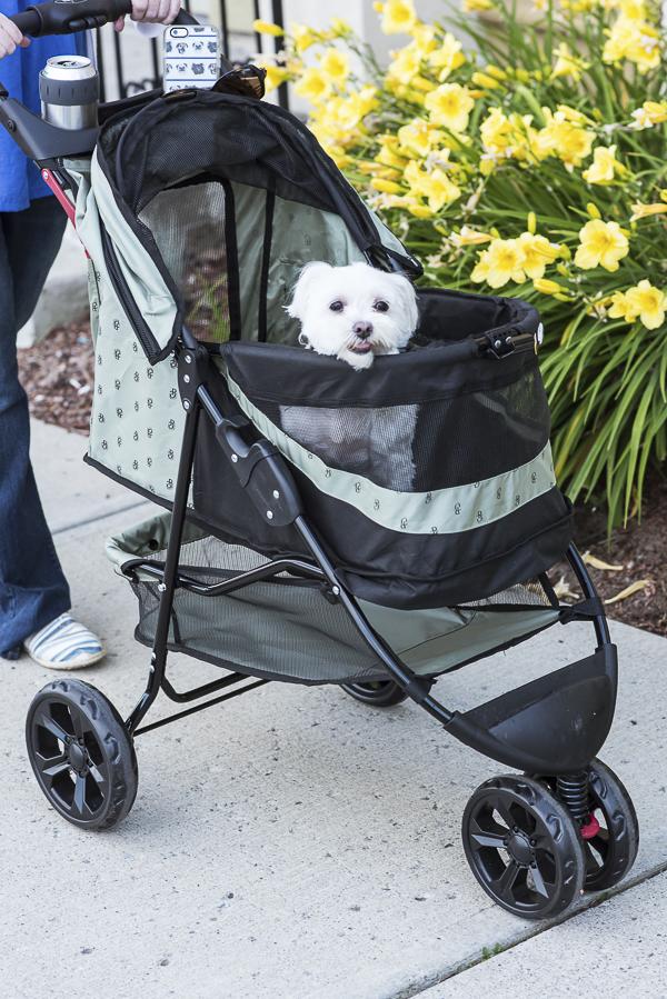 Maltese in pet stroller