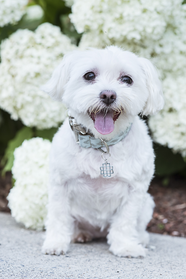 Maltese wearing pretty green collar, Mattie + Margot collar, hydrangeas