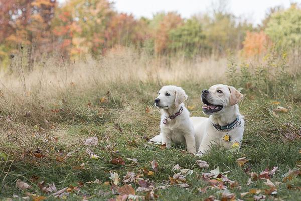 Golden Retriever puppy, English Labrador Retriever, dog bffs, fall dog pictures