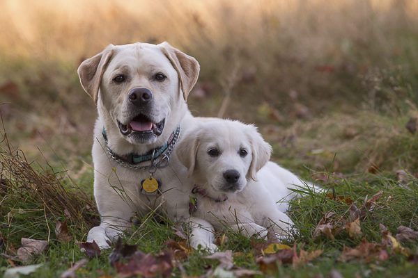 Engaging Tails:  English Labrador & Golden Retriever Puppy