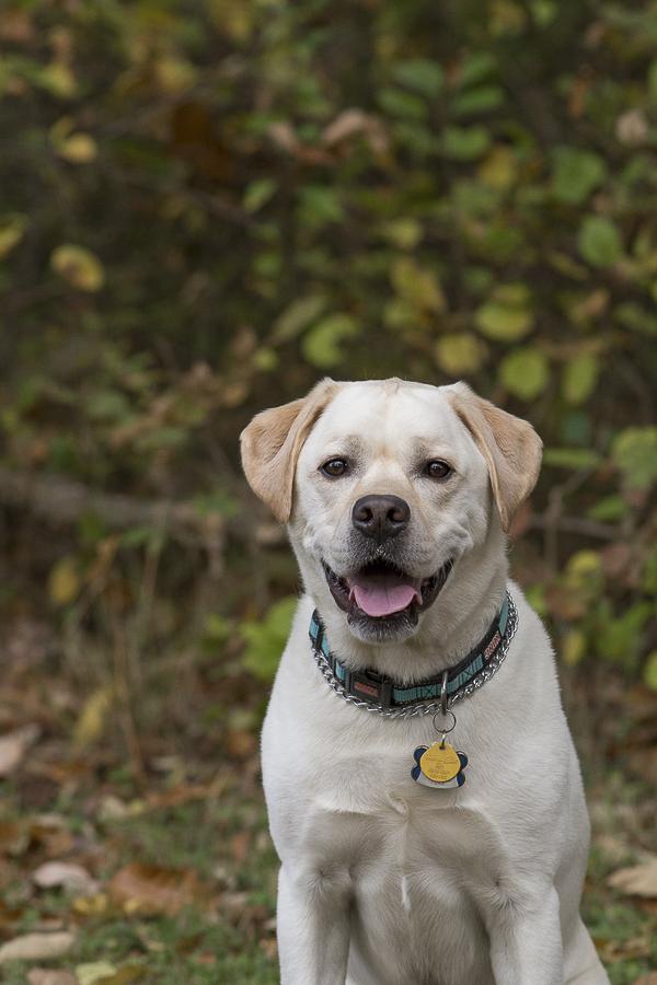 handsome English Labrador | on location dog portraits