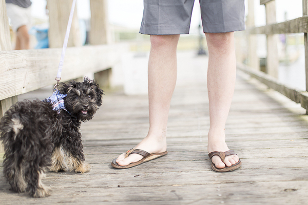 black tan puppy on boardwalk with man, Schnoodle puppy, Charleston