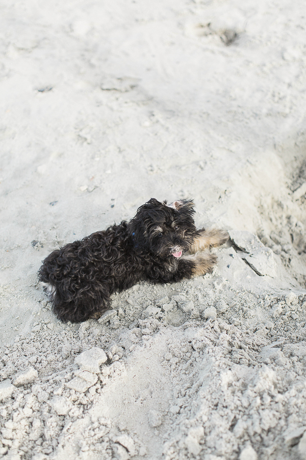 puppy playing on sandy beach, Schnoodle pup