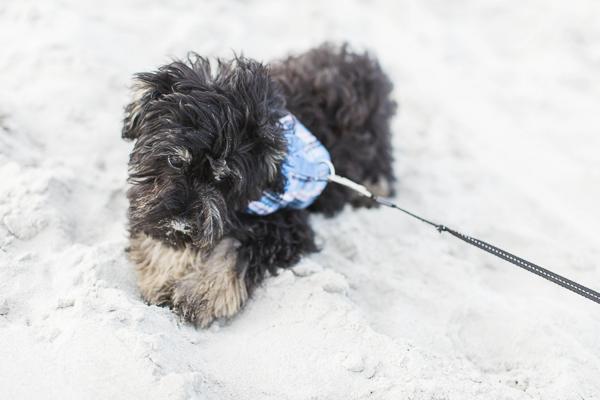 Puppy love, black and tan Schnauzer mix at beach, Schnoodle, Charleston