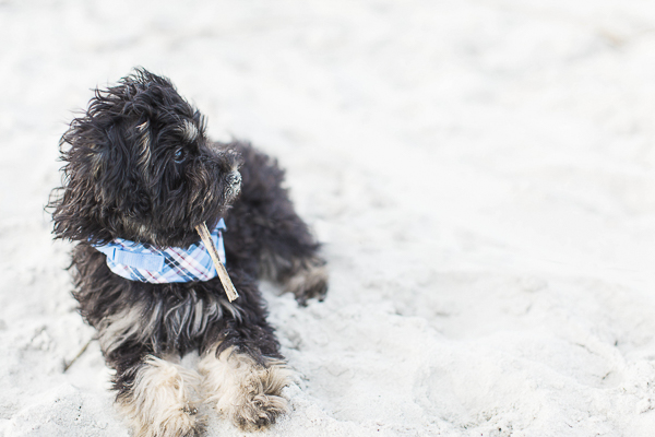 Schnoodle puppy at beach