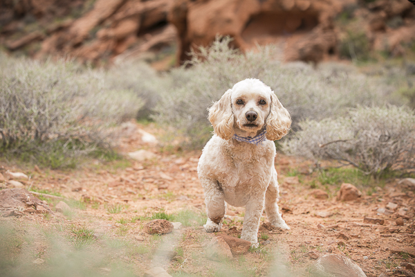 handsome Cockapoo in desert, lifestyle dog photography