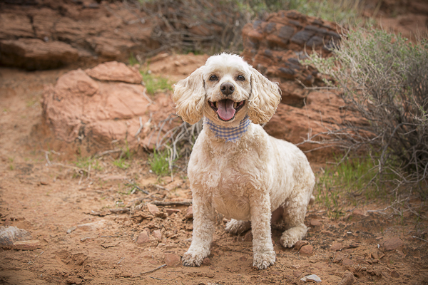 Happy Tails:  Andrew Jackson the Cockapoo