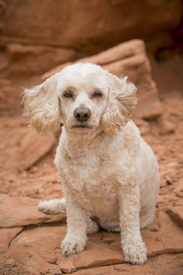 handsome dog sitting orange desert sand/rock, modern pet portraits, Cockapoo