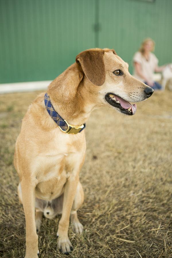 Lab/hound mix, lifestyle dog photography