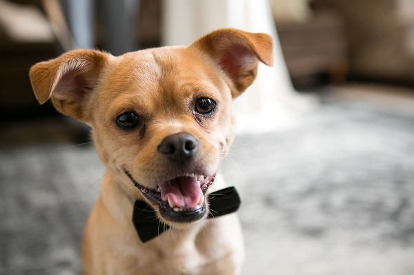 cute short haired dog wearing black bow tie, Pekingese Mix, best dog, wedding dog