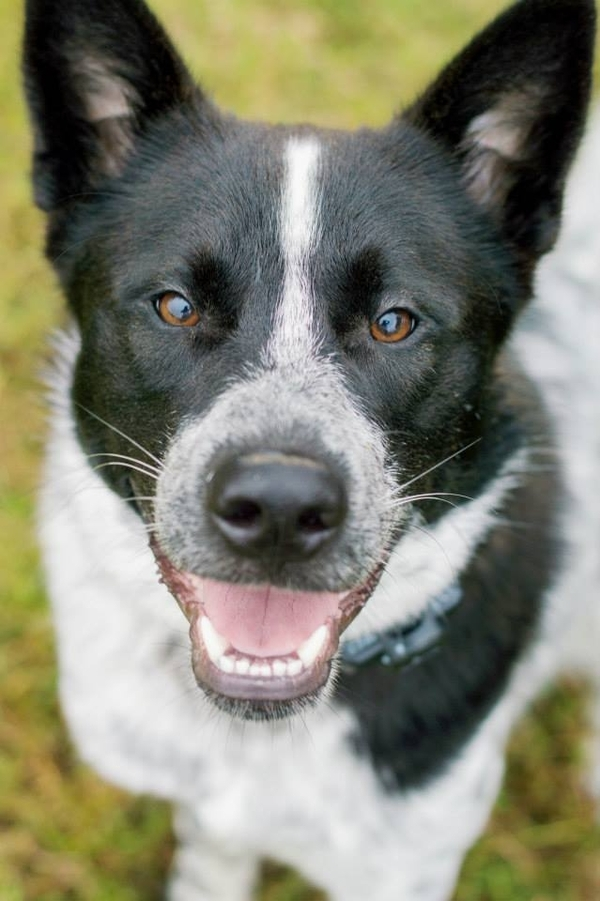 handsome black, white Husky/Aussie mix