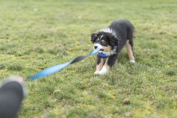 Australian Shepherd puppy playing tug with leash, outside dog portraits, puppy love