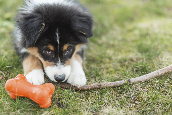 Australian Shepherd puppy with stick, lifestyle dog photography