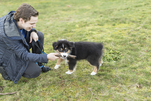 man's best friend, man playing with puppy, Aussie pup with stick in mouth