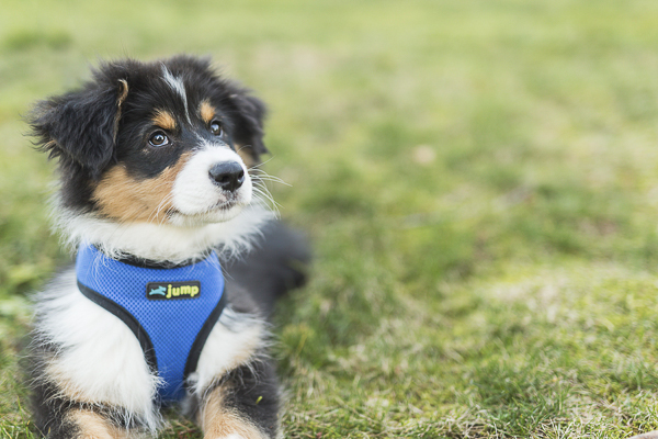 Australian Shepherd puppy, lifestyle dog photography
