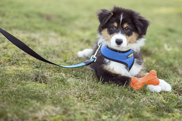 Australian Shepherd puppy, lifestyle dog photography, puppy on leash outside with toys