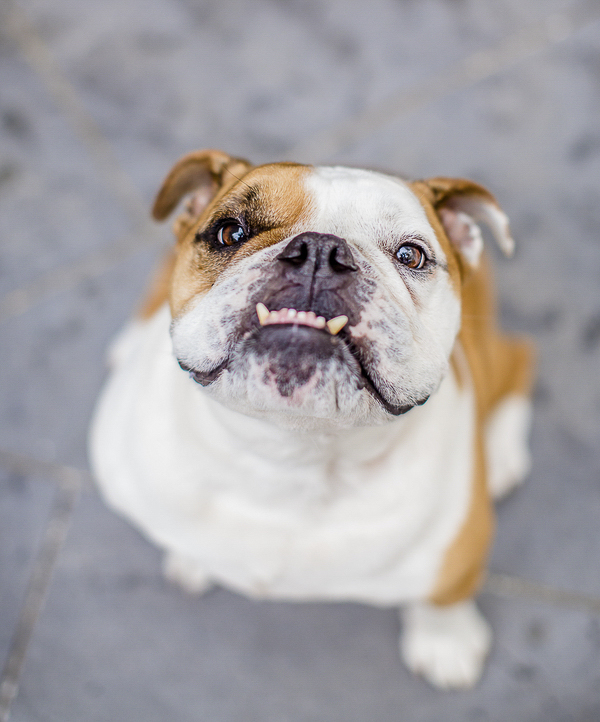 English Bulldog with underbite, adorable dog