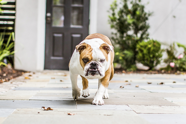 English Bulldog walking across patio with serious expression