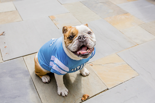 English Bulldog wearing Citadel jersey