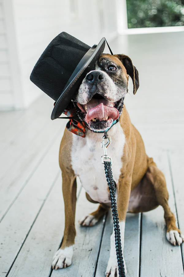 Boxer wearing top hat, adoptable dog Out of the Box Boxer Rescue