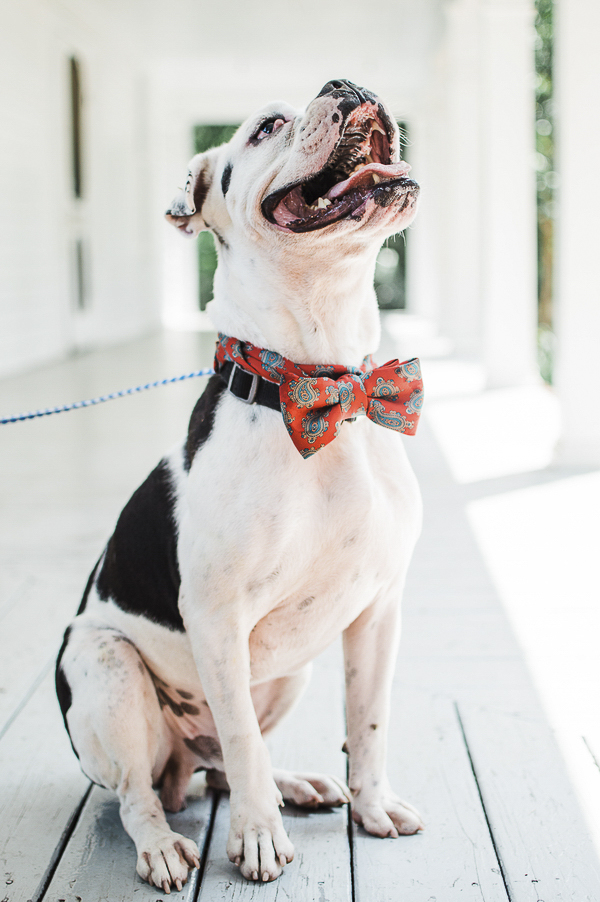 cute Boxer black and white Boxer mix wearing red bow tie