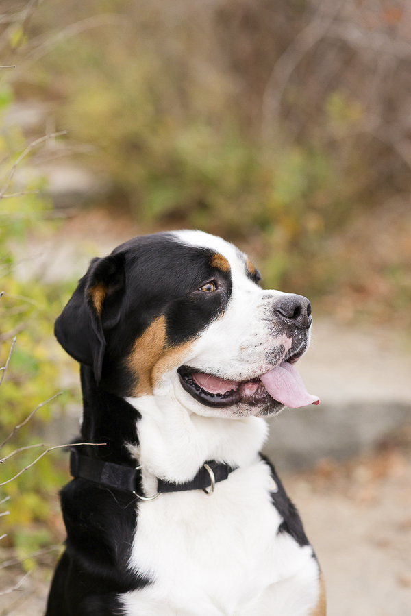 handsome Greater Swiss Mountain Dog, fall dog portraits