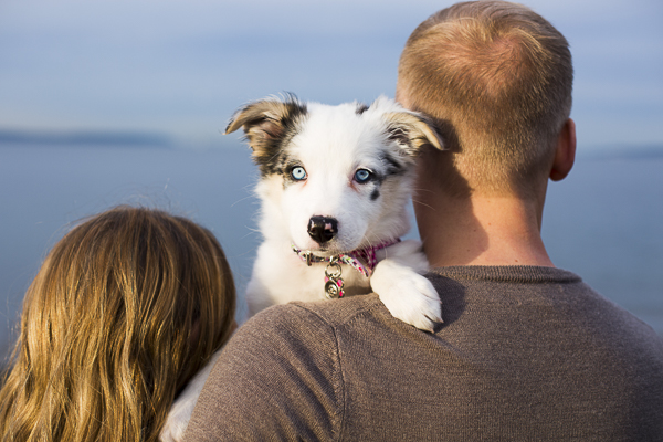 Border Collie/ Aussie mix puppy looking over man's shoulder, creative engagement poses with puppy