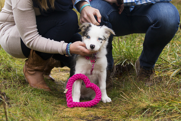 Border Collie, Australian Shepherd puppy with pink rope heart
