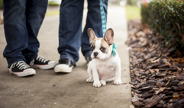 puppy wearing bowtie, Frenchie, engagement photos with puppy