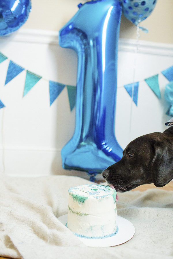 dog licking birthday cake, 1 balloon, dog pawty