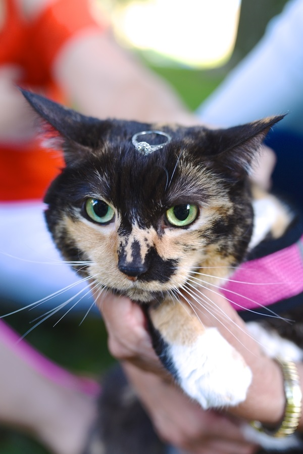calico cat with engagement ring on head