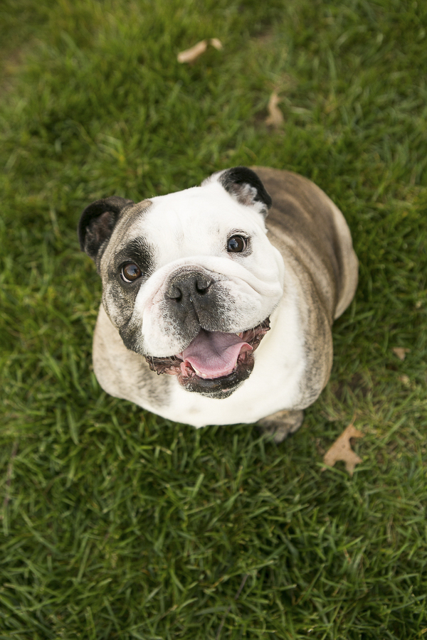 Happy English Bulldog sitting in grass