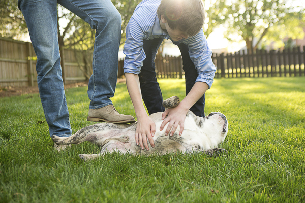 English Bulldog enjoying a belly rub, on location dog photography