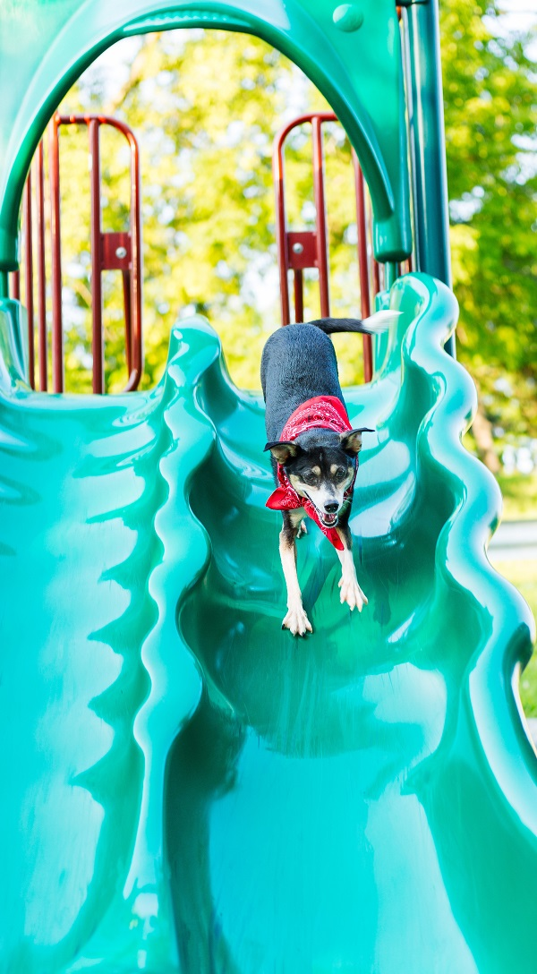 Rat Terrier going down slide, lifestyle dog photography