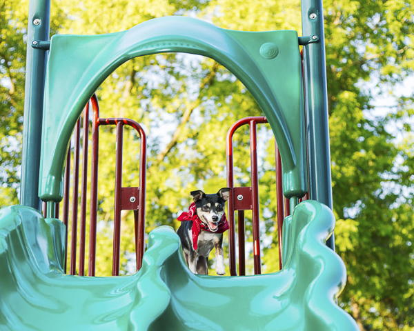Fox Terrier on top of a slide, lifestyle dog portraits