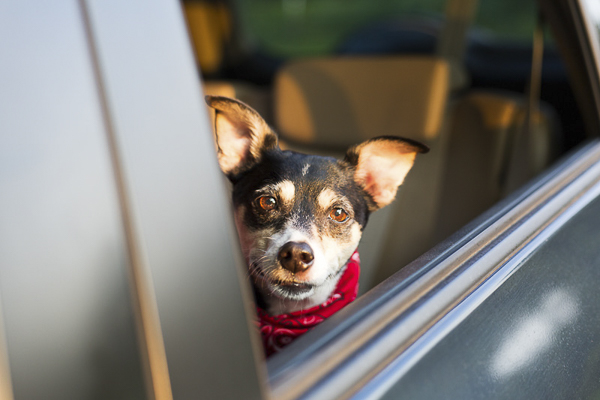 Fox Terrier looking out of car window, lifestyle dog photography