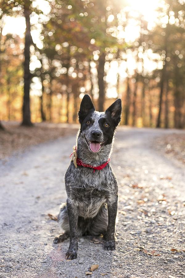 Blue Heeler sitting on gravel road, fall dog portraits