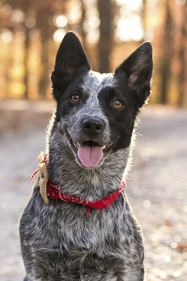 Cattle Dog, on location dog portraits