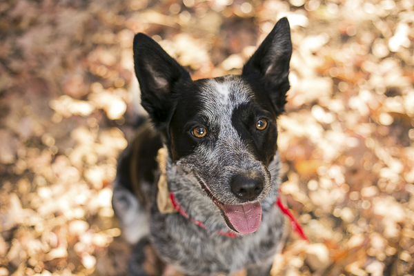 pretty Cattle Dog sitting in fall leaves