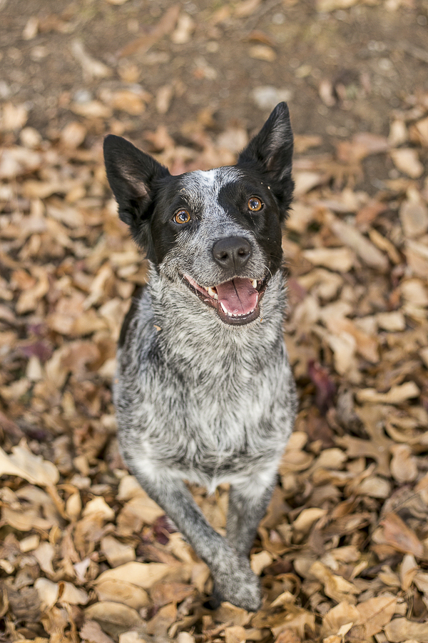 Cattle dog sitting in fall leaves