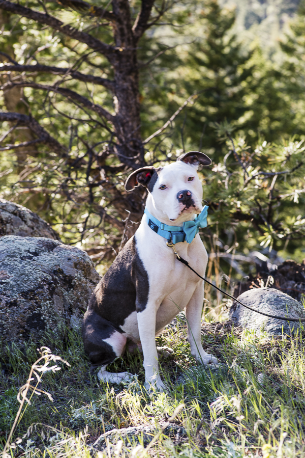 handsome white and brindle Pit bull wearing blue bow tie