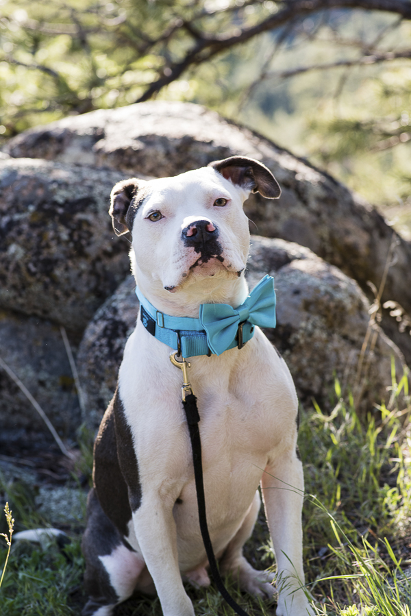 Pit bull wearing bow tie, wedding dog