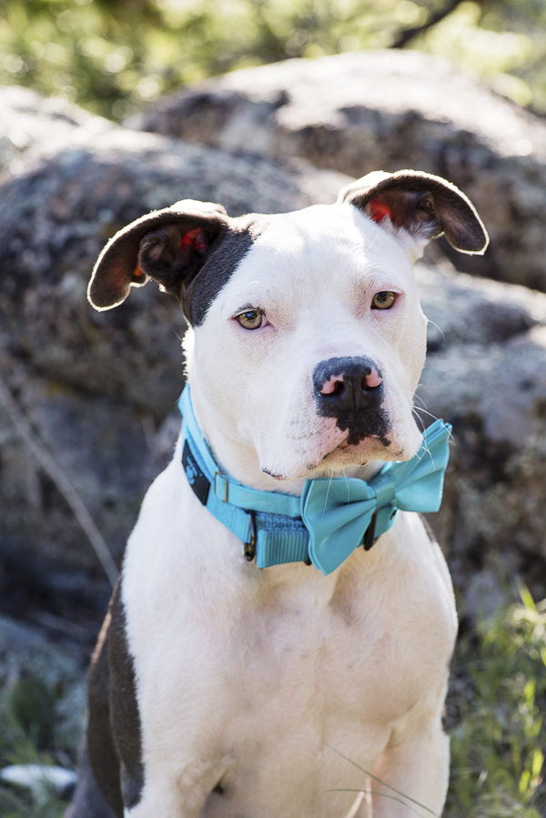 handsome pit bull in blue bow tie, wedding dog