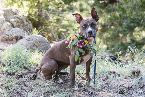 brown pit bull mix wearing floral wreath, wedding dog