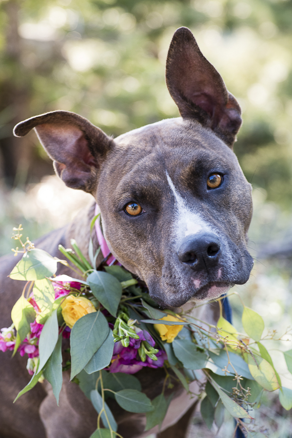 lovely brown pit bull in floral wreath, wedding dog