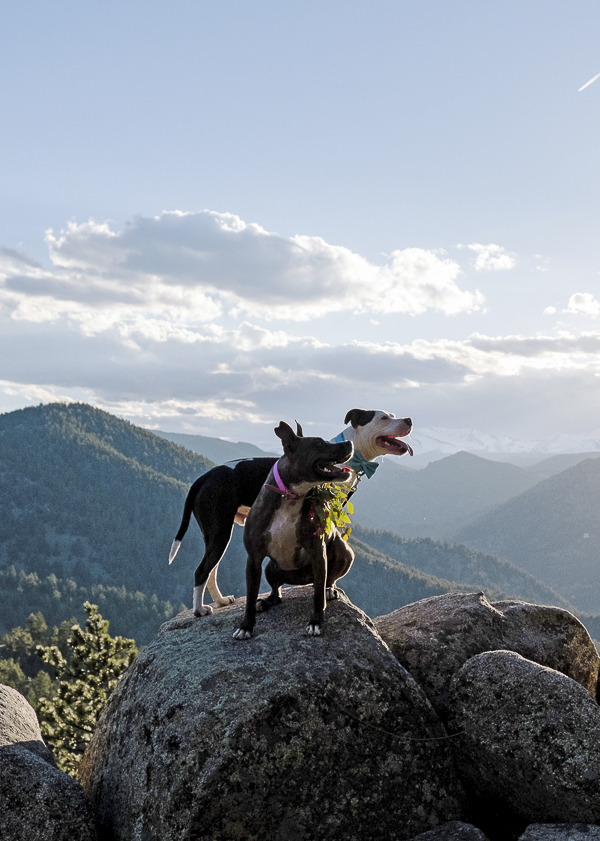 Pit bulls on rock at scenic overlook