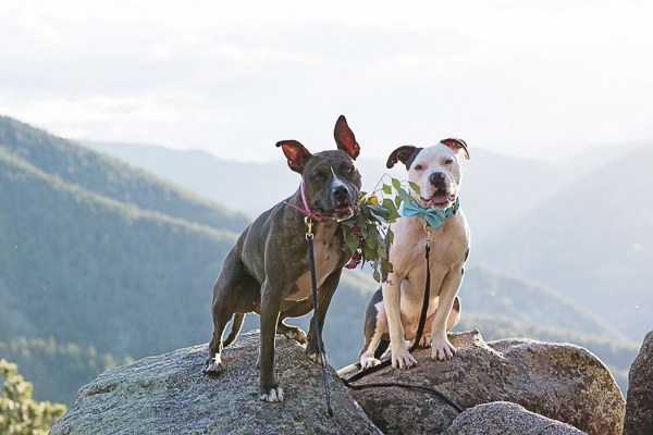 wedding dogs, Pit bulls on Colorado mountain overlook