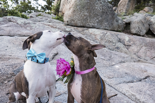 Puppy love, wedding dogs, Pit bulls licking each other, dogs kissing