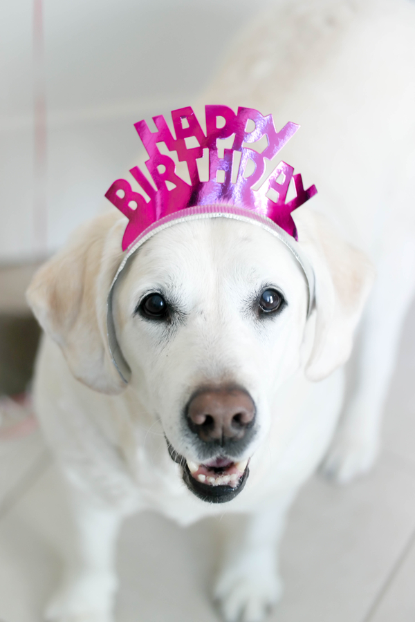 Yellow Lab wearing Happy Birthday crown, dog party